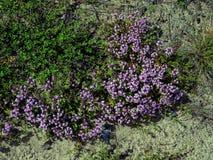 thymuskörtel Blommor i Juli i visare och sand för en pinjeskog stupade Arkivfoto
