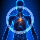 Thymuskörtel - kvinnliga organ - mänsklig anatomi Arkivfoton