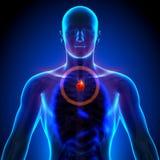 Thymuskörtel - manlig anatomi av mänskliga organ - röntgenstrålesikt Arkivfoto