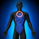 Thymuskörtel - manlig anatomi av mänskliga organ - röntgenstrålesikt Arkivbilder