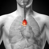 Thymuskörtel - manlig anatomi av mänskliga organ - röntgenstrålesikt Fotografering för Bildbyråer
