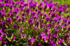Thymuskörtelserpyllum för lös timjan En tät grupp av purpurfärgade blommor av denna aromatiska ört i familjlamiaceaen Arkivfoto