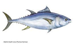 Thynnus Thunnus голубого тунца Стоковое Изображение