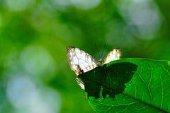 Thyodamas di Cyrestis, farfalla comune della mappa fotografia stock