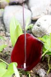 Thypan Sweet. Araceae redflowers spartha spadix natural plant garden macro Royalty Free Stock Photo