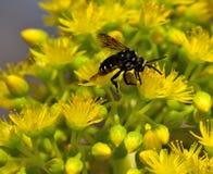 Thyreus histrionicus on aeonium flowers. Bee thyreus histrionicus on wild flowers of aeonium undulatum Royalty Free Stock Photo