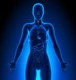 Thyroid - Female Organs - Human Anatomy Royalty Free Stock Photos