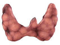 Thyroid gland Royalty Free Stock Images