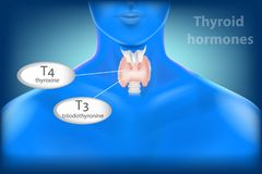 Thyroid Gland Anatomy. Thyroid hormones stock illustration