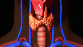 Thyroid gland. The thyroid gland is a butterfly-shaped organ located in the base of your neck. It releases hormones that control metabolism—the way your body Stock Photography