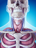 The thyroid gland Royalty Free Stock Photos