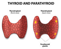 Thyroid and parathyroid. Stock Photo
