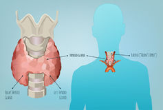 Thyroid System Image Royalty Free Stock Photography