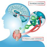 Thyroid System Poster. Thyroid system vector illustration. Medical anatomy with brain, throat, bone and trachea with useful information shown on a human body Royalty Free Stock Photos
