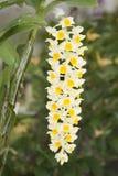 Thyrsiflorum Rchb.f del Dendrobium. Orchidea di specie. Immagini Stock
