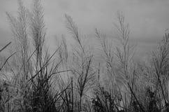 Thysanoleana maxima Kuntze stock photography
