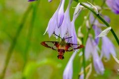 Thysbe clearwing de los hemaris de la polilla del colibrí Fotografía de archivo