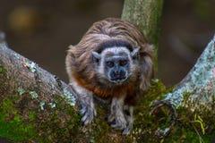Ti-ti ape starring menacing to camera royalty free stock photography