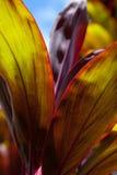 Ti-bladeren stock afbeeldingen