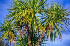 Ti kouka New Zealand cabbage palm tree. Landscape with a blue sky Royalty Free Stock Photo