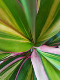 Ti Leaf. A close up photo of the Hawaiian Ti Leaf plant Royalty Free Stock Images