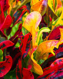 Ti leaves. Mix of brightly colored leaves of Hawaiian Ti plants: the Good Luck plant Stock Photos