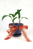 Ti Plant. In a blue pot with a red bow Royalty Free Stock Photo