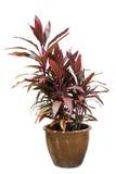 Ti plant. Red ti plant on pot. Cordyline fruticosa Stock Image