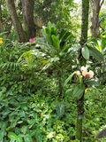 Ti Plant Surrounded by Orchids and Leafy Plants. This is a picture of a ti plant surrounded by orchids and leafy plants in Papikou, Hawaii Royalty Free Stock Photo