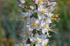 Tianschanicus floreciente de Eremurus Foto de archivo