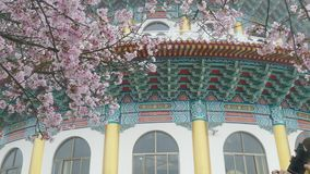 Tianyuan Palace in the north of Taiwan, famous cherry blossom spot in March every year stock footage