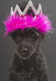 Tiara with Feathers On A Dog. A poodle wearing a tiara and feathers, isolated on a gray background Royalty Free Stock Photography