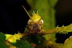 Tiaratum de Extatosoma del Phasmida fotos de archivo libres de regalías