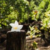 Tiare flower - Symbol of Tahiti Stock Image
