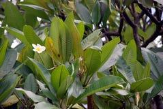 Tiare tree in Tahiti Royalty Free Stock Image
