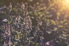 Закройте вверх на цветке Tiarella в саде Стоковые Фотографии RF