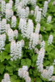 Tiarella flower Stock Photos