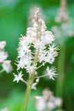 Tiarellacordifolia royaltyfri fotografi