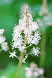 Tiarellacordifolia Royalty-vrije Stock Fotografie