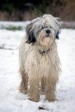 Tibétain de chien terrier Image stock