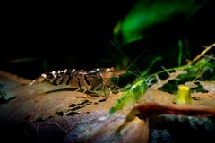 Tibee shrimp aquarium hobby pets freshwater nature. Tiger bee Royalty Free Stock Photos