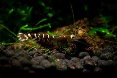 Tibee shrimp aquarium hobby pets freshwater nature. Tiger bee Royalty Free Stock Images
