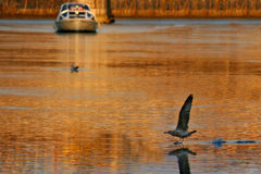 Tiber river at sunset. Seagull landing on the surface of Tiber river colored in orange by sunset against cruise ship passing by in Rome, Italy royalty free stock photography