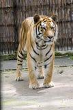 Tiberian tygrys Fotografia Royalty Free