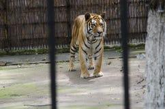 Tiberian tygrys Zdjęcia Royalty Free