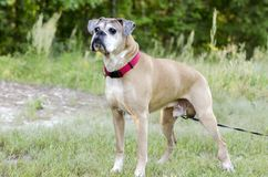 Senior fawn Boxer dog, pet rescue adoption photography. Tiberius is an older tan unneutered male Boxer dog with red collar on leash outdoors in meadow. Grey Royalty Free Stock Photos