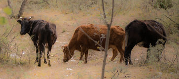 Tibet buffel Arkivfoto