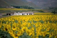 Tibet cole flower Royalty Free Stock Photos