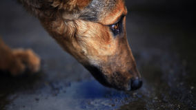 Tibet dog eyes close-up Stock Images