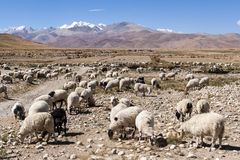 Tibet's Ngari autumn flocks Stock Image